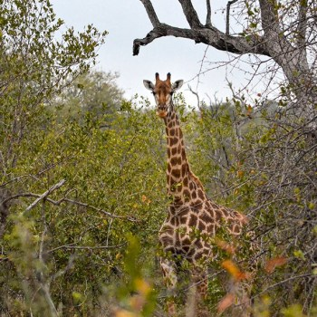 Pondoro Game Lodge Safari Giraffe