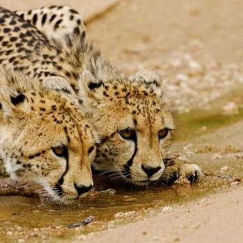 Royal Malewane Cheetahs