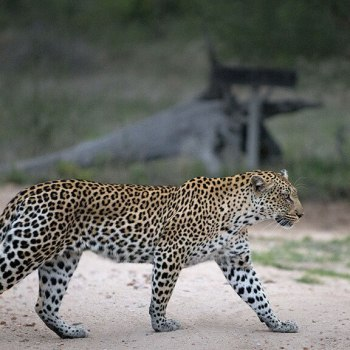 Tanda Tula Safari Camp Male Leopard