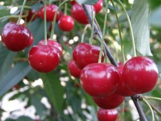 Dojrzałe owoce wiśni (fot. K. Furmanek)