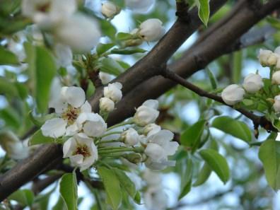 Sady wiśniowe (fot. K. Lachowicz)