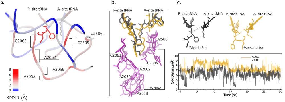 medium resolution of 15 a structure comparison of the peptidyl transferase center ptc containing either an l or a d phe amino acid in the ribosome the structure is colored