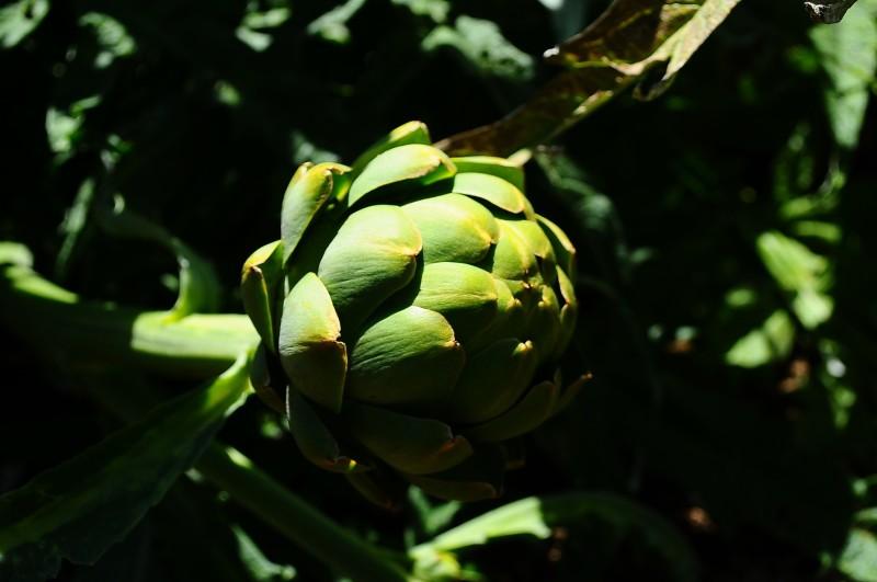 Artichoke from my garden