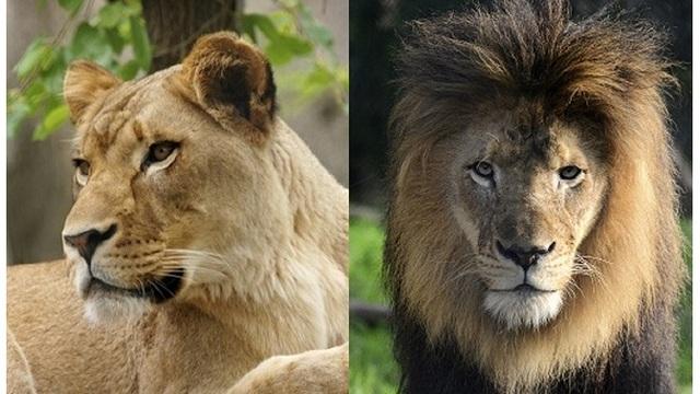 lion suffocated_1539984025124.jpg.jpg