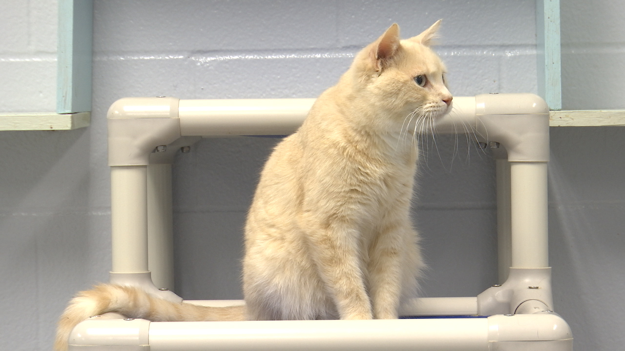 Topeka's Helping Hands Humane Society to offer 'Cat Yoga' class