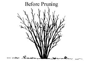 » Pruning Deciduous Shrubs