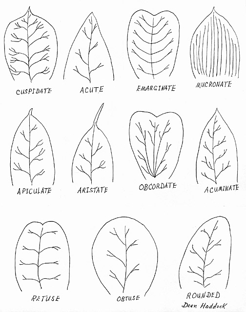 What Does Sativa Mean In Botany