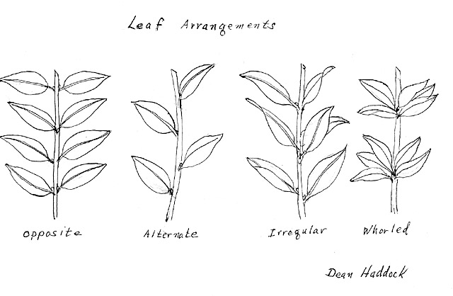 leaf arrangement Gallery