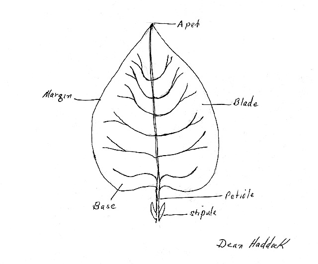 How to draw a scientific diagram of a plant
