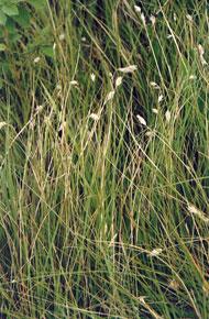 Kansas Wildflowers and Grasses  Buffalo grass