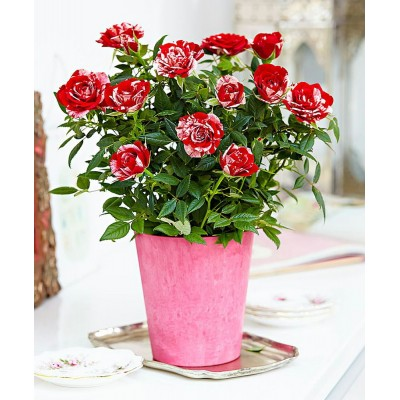 Parade Gigi Miniature Rose Bush FragrantHardy 4quot Pot