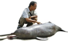 Gangetic dolphins nearing extinction in Nepal