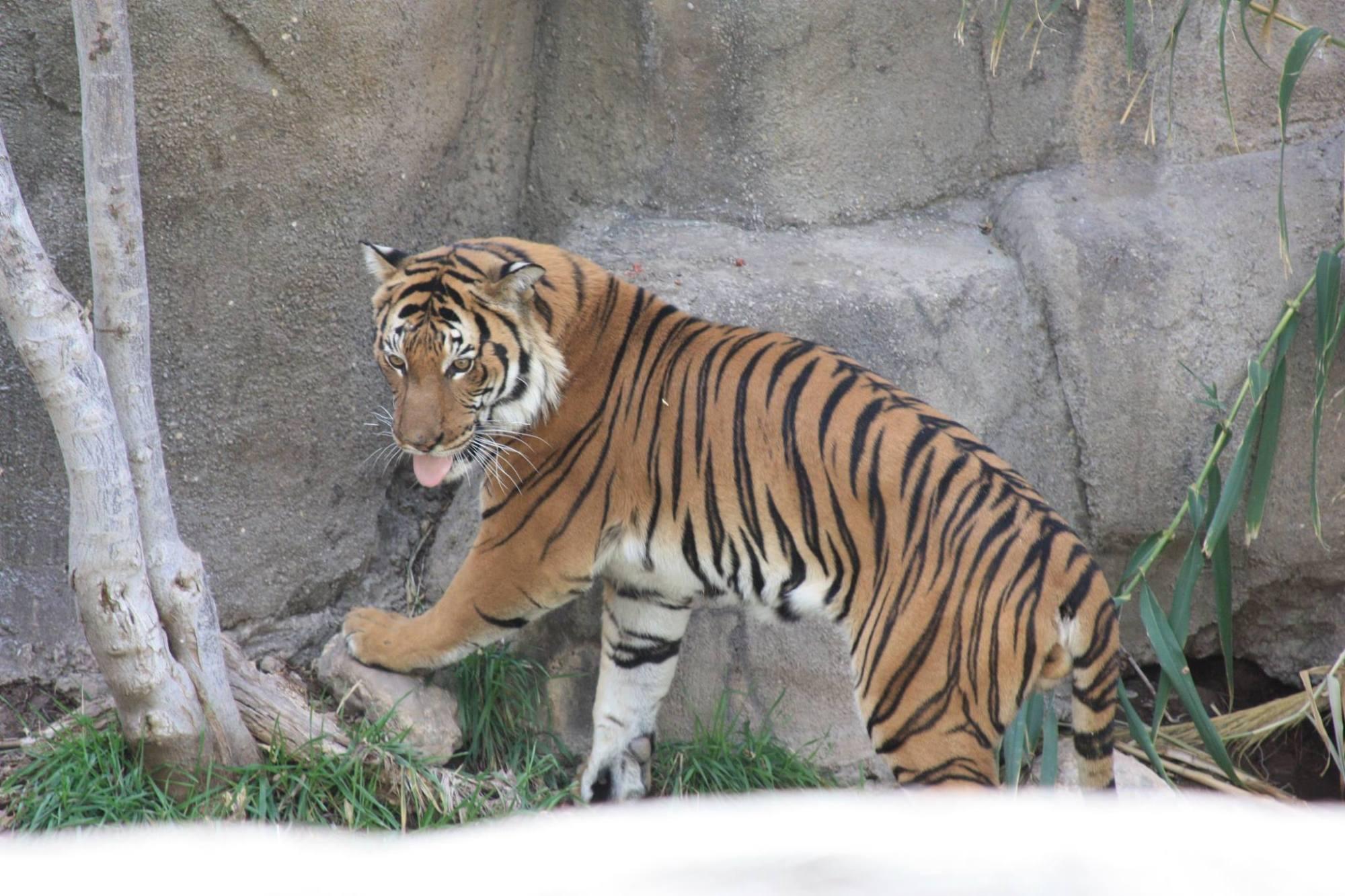 zoo tiger_1495142073214.jpg