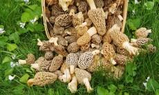 Missouri Mushroom Season 2016 is underway