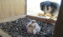 MDC offers live stream of falcons nest