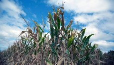 Corn in Beginning Stages of Drought