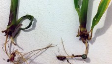 Rootless Corn