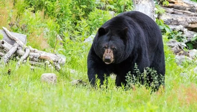 "Missouri Department of Conservation encourages public to be ""Bear Aware"" this spring"