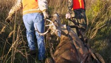 Two hunters dragging deer carcass