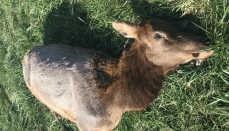 Poached Cow Elk