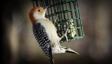 Red Bellied Woodpecker (bird feeding) eating suet