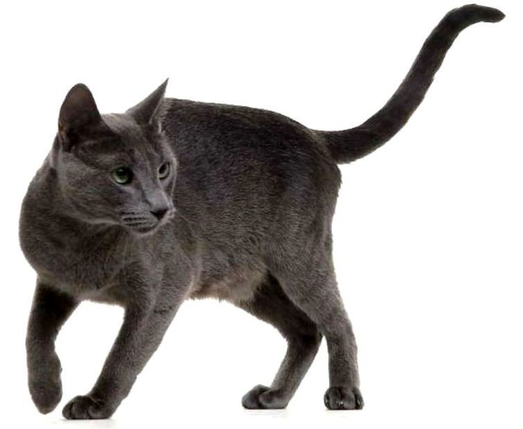 Kucing RUSSIAN BLUE (cat) - www.kucing.biz