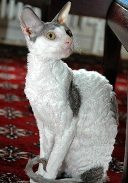 Kucing CORNISH REX (cat) - www.kucing.biz