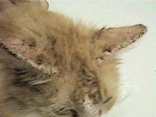 scabies kucing sebelum suntik ivermectin
