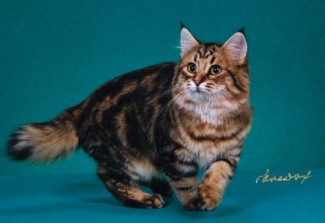 american bobtail, long hair