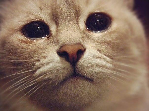 catcrying2 - Benarkah Kucing Mengeluarkan Air Mata Tanda Ia Sedang Menangis ?