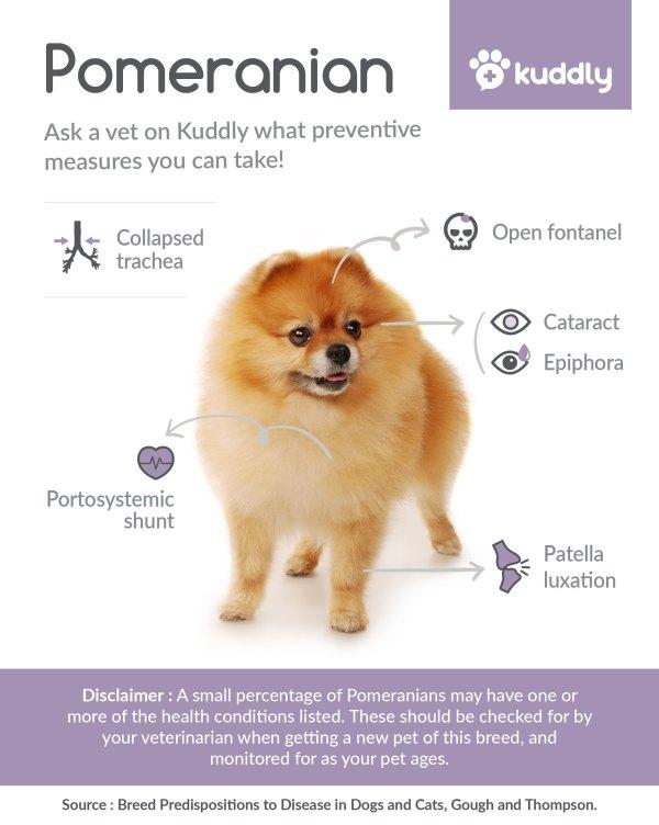 Kuddly Pomeranian