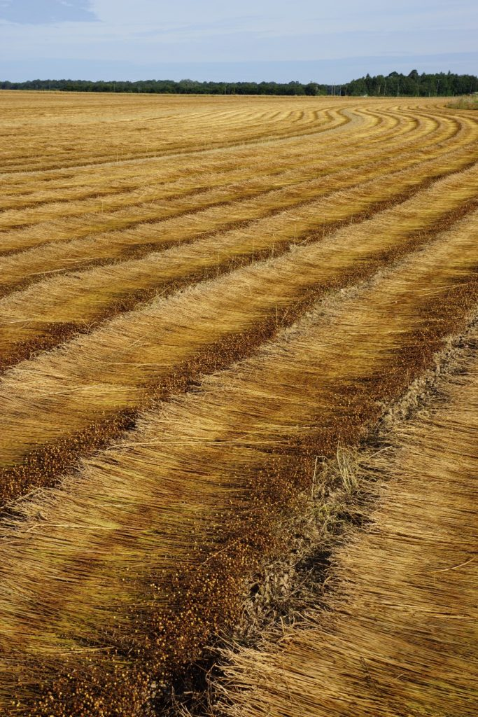 Linen fields.  (Photo: Adobe Stock / Duverbaynes)