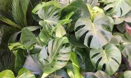 Filadendron – trend sobna biljka