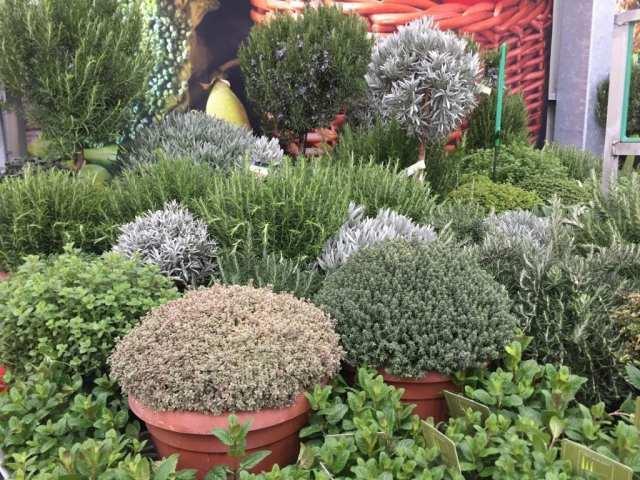 Zacinske biljke