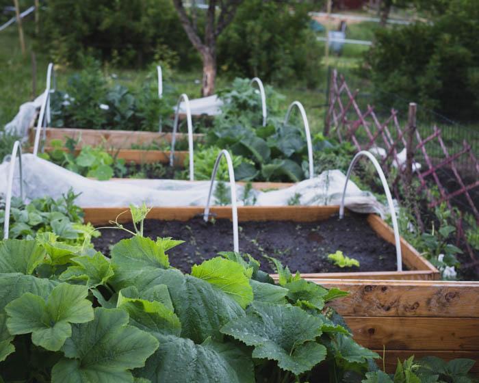 Helppo kasvimaa | hyötypuutarha | vihannesten viljely | omasta maasta | puutarha