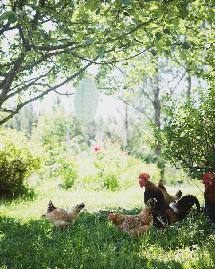 Rönsyilevä puutarha   puutarhan hoito   kukkapuutarha   hyötypuutarha   kanala   kana