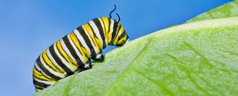 Caterpillar of a Monarch butterfly
