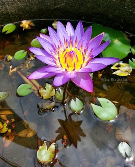 bunga telipok kembang