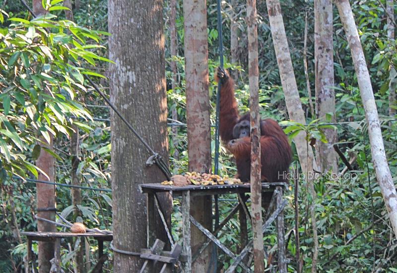 orang utan Semenggoh Wildlife Centre
