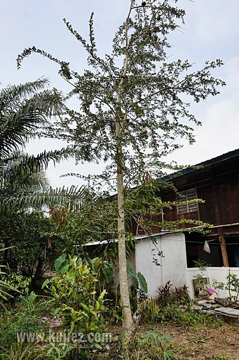 pokok belingai