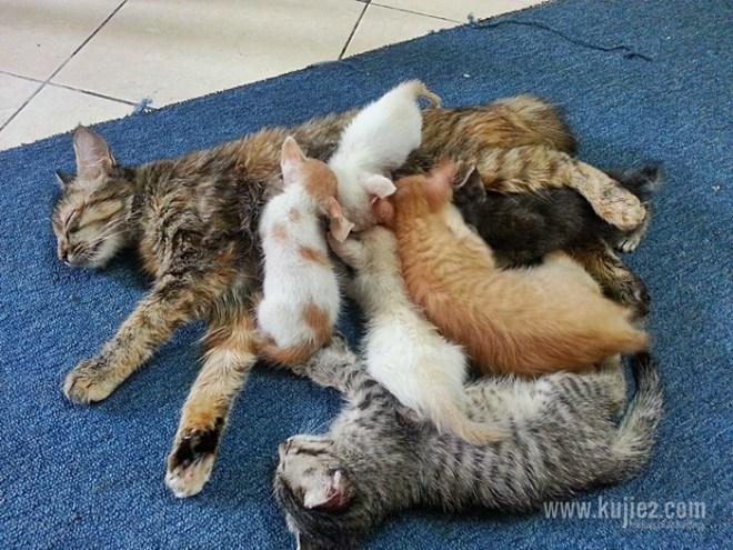 ibu angkat kucing menyusu
