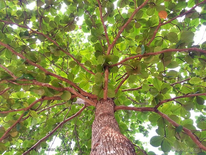 pokok ketapang taman botani putrajaya