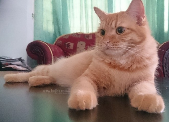 carrot kucing