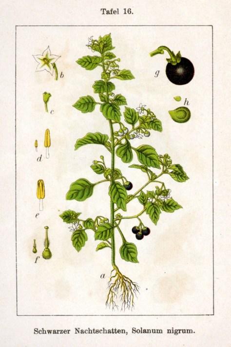 Solanum_nigrum_Sturm16