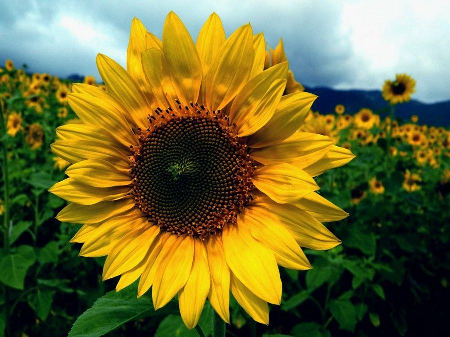 Girasol por qu es la flor del verano kukyflor - Flores de verano ...