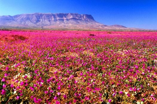 Atacama: Top 8 de los campos de flores más espectaculares del mundo