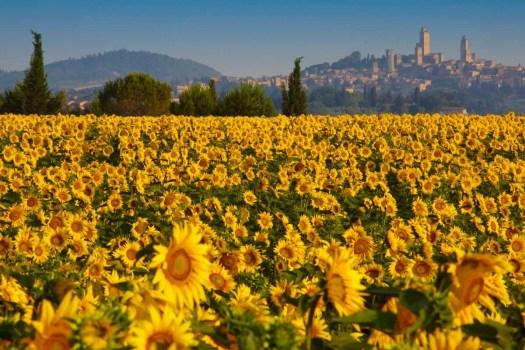 La Toscana: Top 8 los campos de girasoles más espectaculares del mundo