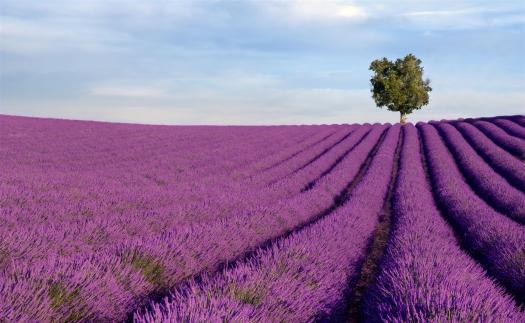 La ruta de lavandas de Provenza: Top 8 campos de flores más espectaculares del mundo