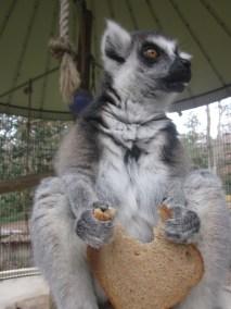 kulaqua retreat conference center zoo nature center lemur images florida's best christian retreat location kulaqua