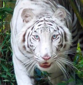 kulaqua retreat conference center zoo nature center white tiger images florida's best christian retreat location kulaqua